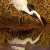 13  G Great Egret Eating Fish V