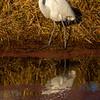10  G Great Egret Eating Fish V