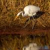 8  G Great Egret Eating Fish V