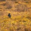2  G Hawk in Field