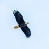 10  G Bald Eagle