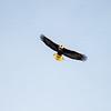 25  G Cape D Eagle