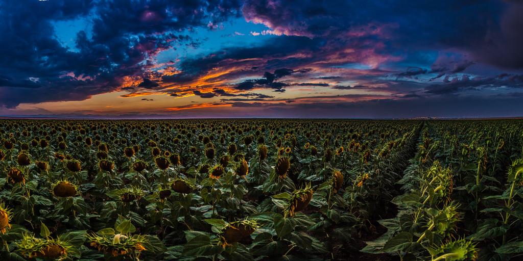 colorado sunflowers