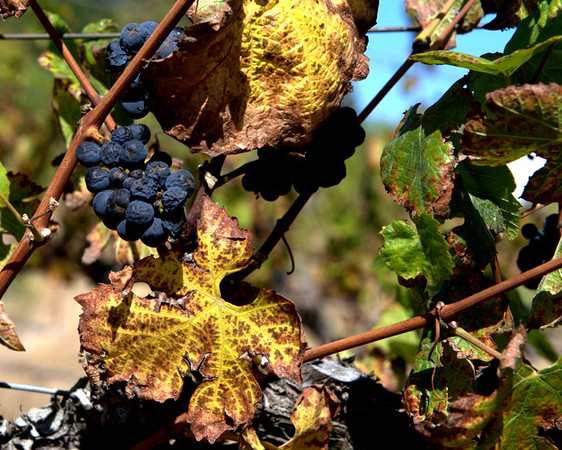 1310 Fall Wine Grapes