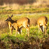 24  G Deer