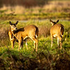 25  G Deer