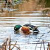 31  G Duck