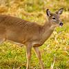 12  G Deer