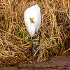 5  G Great Egret V