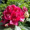 Rhododendron, UMB-parken, Ås