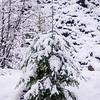 30  G Snowy Tree V