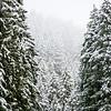 1  Snowy Trees V