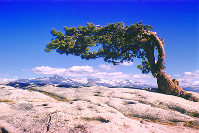 Sideways tree on Sentinel Dome, Yosemite National Park