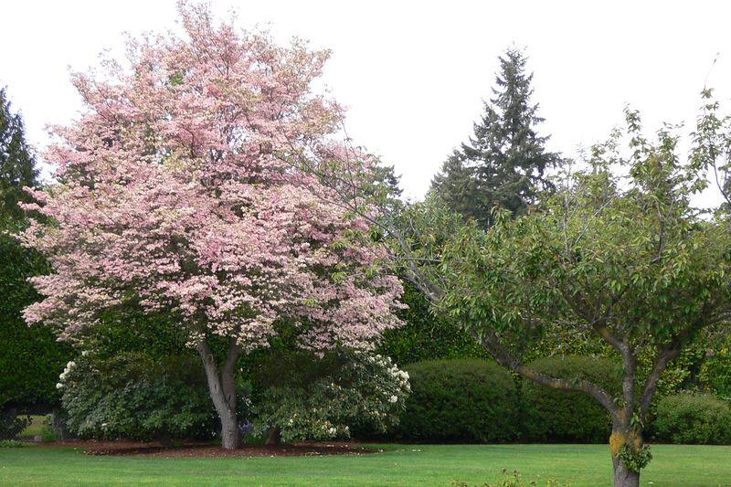 Mid Spring Cherrie Blossom