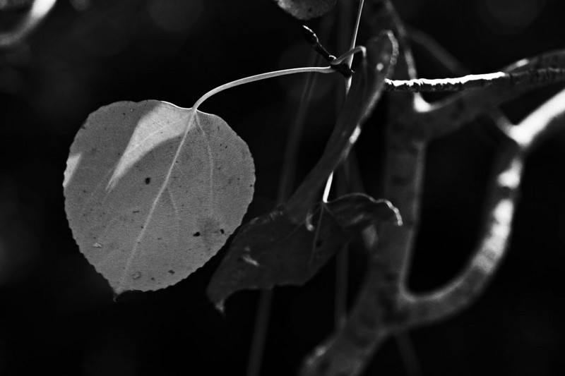 Wonderful textures in the leaves. This explored in a Canon 1Ds Mk II image with Leica 100 APO converted to black and white with Alien Skin 2