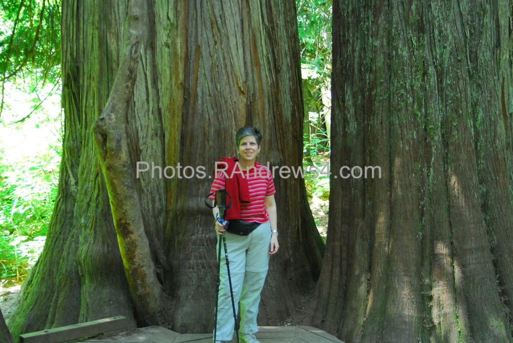 Giant Cedars in Grove of the Patriarchs, Mt. Rainier National Park