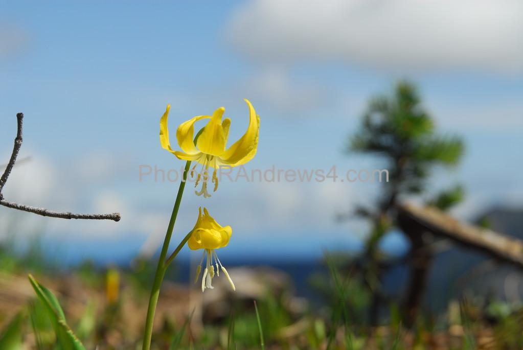 Wildflower on slopes of Mt. Rainier