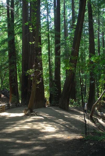 Redwoods at Pfeiffer Big Sur State Park, CA