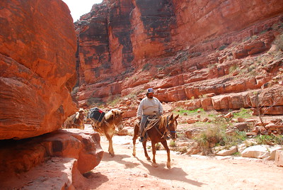 Mule train coming down the trail in Havasu Canyon