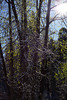 Trees near El Capitan