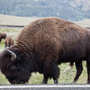 Giant American Bison