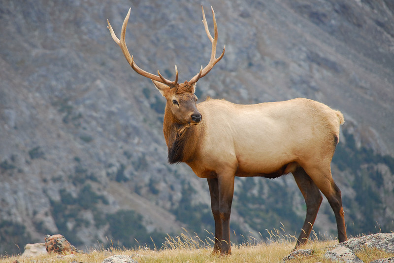 Bull elk near Gore Range overlook in Rocky Mountain National Park