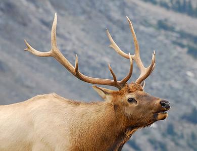 Bull elk near Gore Range overlook in Rocky Mountain National Park