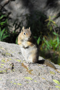 Chipmunk near Dream Lake in RMNP