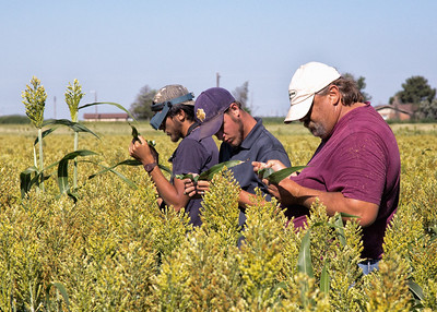 Counting sugarcane aphids in sorghum as part of the control experiment. Most of us have pretty good suntans by this time of year.
