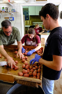 The Potato Breeding Program at Texas A&M: sorting the potatoes in to size classes, 2014.