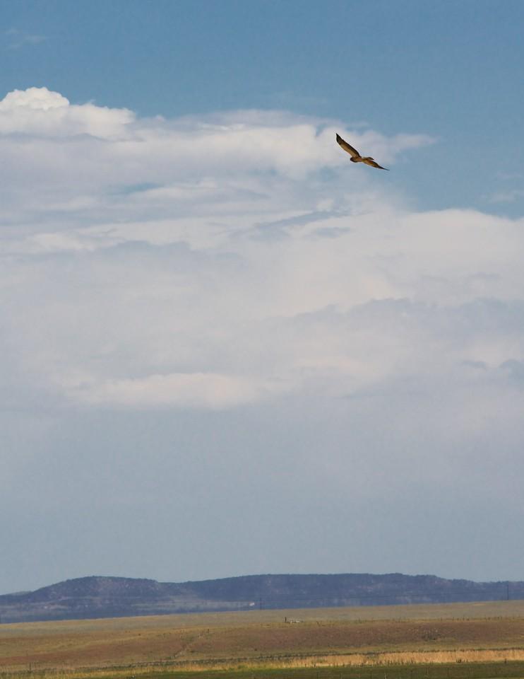 Swainson's hawk over farmland in the Estancia Valley, New Mexico, June 30, 2012.