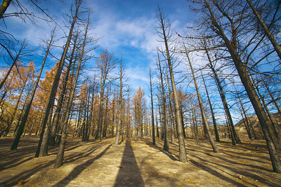 Burned Pine Forest