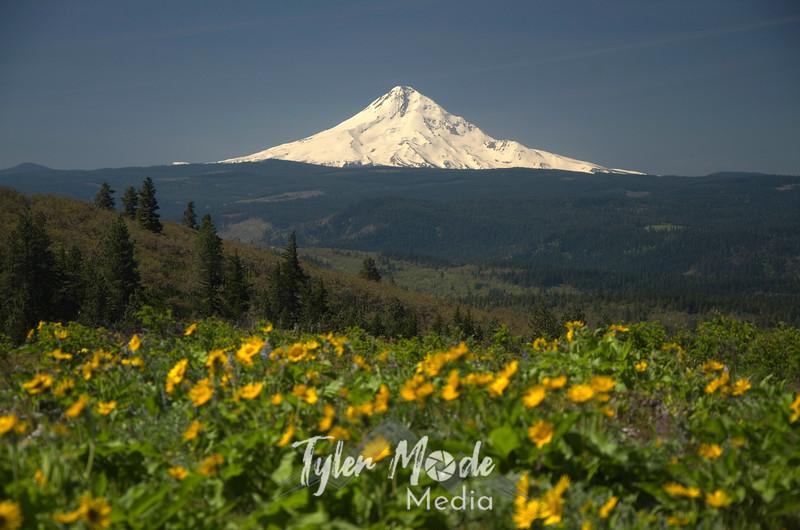 6  June, Mt  Hood and Balsam Root