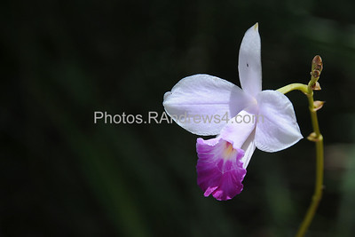Wild orchid along Powerline Trail