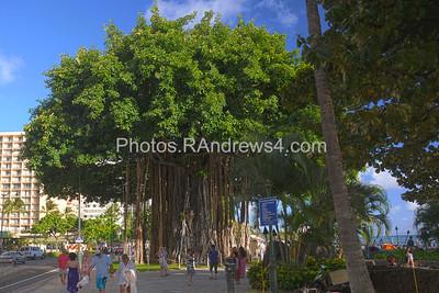 Waikiki Banyon Tree