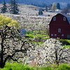 9. Pear Blossoms and Barn