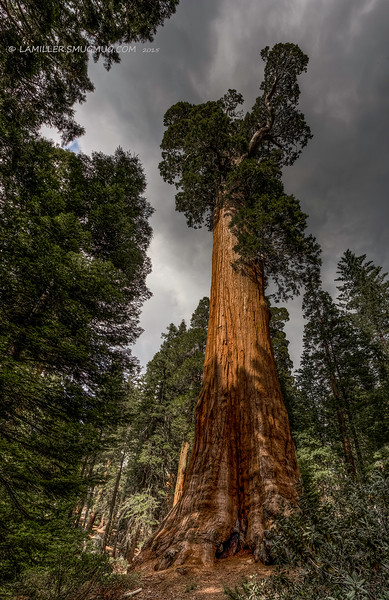 Sequoia gigantea (Giant Sequoia) - Kings Canyon National Park - The General Grant Tree - Second largest tree in the world (267ft.) - June 2015