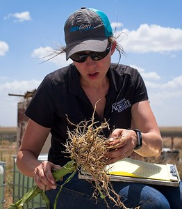 Evaluating corn roots for damage by western corn rootworm beetle larvae, 2018.