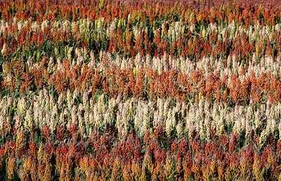 Grain sorghum in small plots at the Experiment Station, 2016. Most varieties turn red, brown or white at maturity. This was shot from high above on a combine.