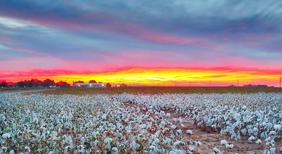 Sunrise over a cotton field at the Experiment Station, 10/26/16. This is a 3-exposure shot combined with Aurora HDR.  Basically there is no way to get the exposure right with just one photo, so HDR allows one to combine multiple exposures to get something equivalent to what the eye can see. The downside is that it looks a bit artificial.