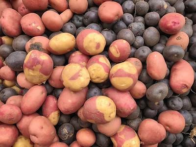 New Texas A&M potato variety named Harlequin, 2018.
