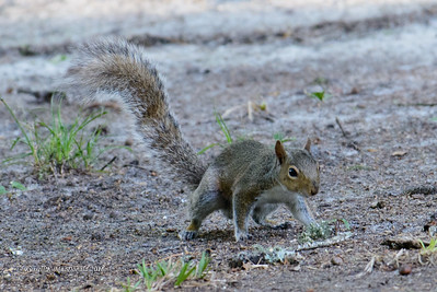 2016-04-26 Squirrel with 200-500mm