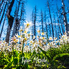 155  G Avalanche Lilies and Sun