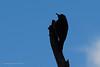 20190128-Birds in Fort Pierce-3538