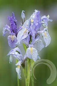 Reocky Mountain Iris