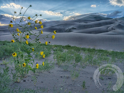 Sunflowers at the Sand Dunes