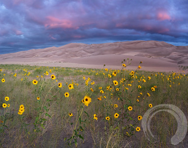 Sunset Over Sunflowers at the Sand Dunes