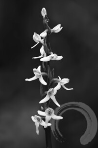 Bog Orchids