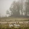 10  G Foggy Trees Geese