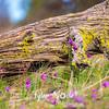 42  G Grass Widows Log